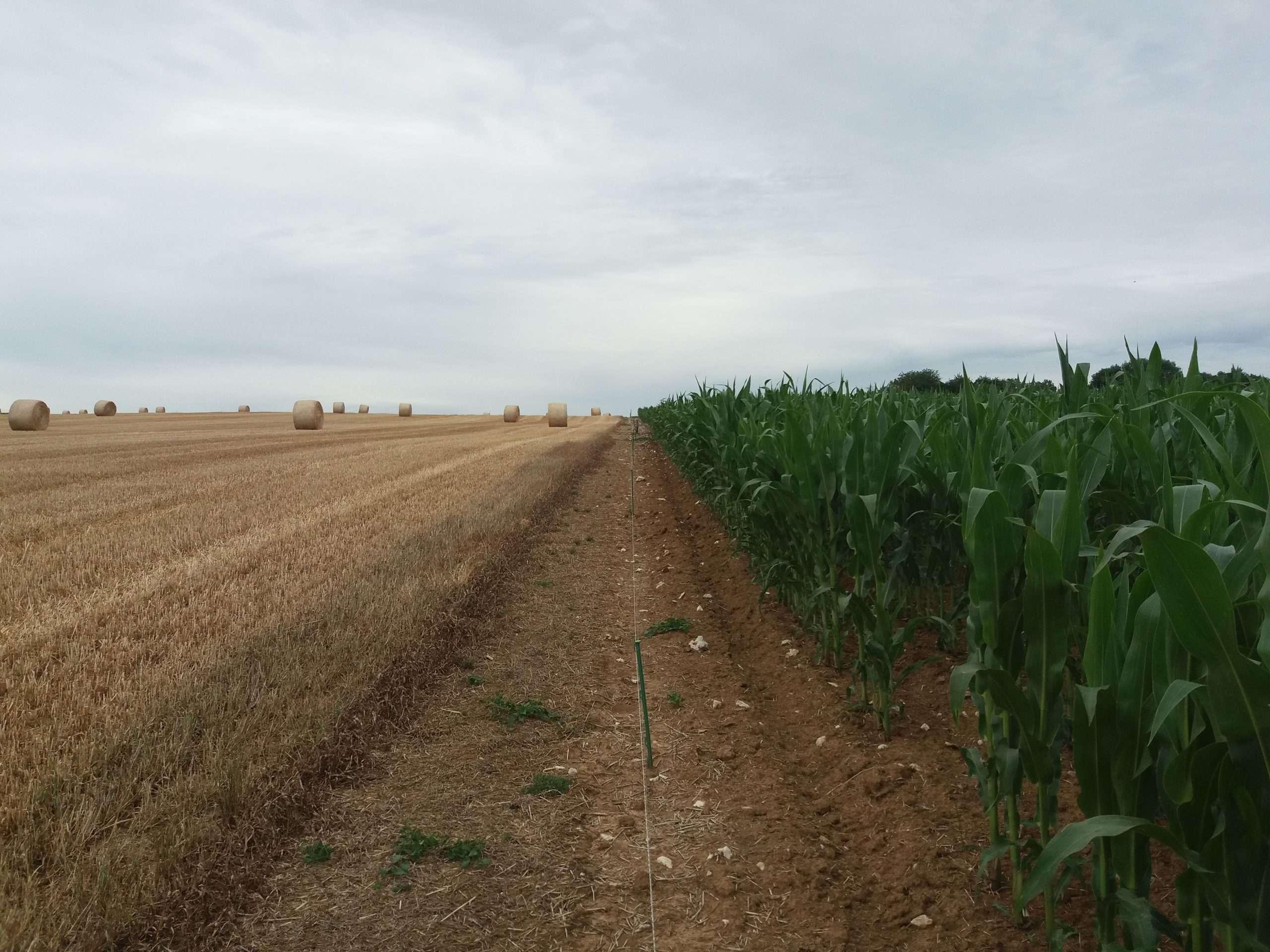 Agriculture du blé et du maïs
